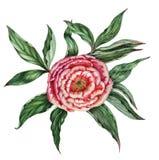 Ejemplo botánico de la acuarela de una peonía rosada hermosa foto de archivo