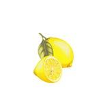 Ejemplo botánico de los limones Imágenes de archivo libres de regalías