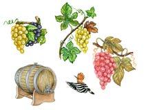 Ejemplo botánico de uvas Stock de ilustración