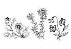 Ejemplo botánico del monochrom de wildflowers libre illustration