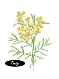 Ejemplo botánico del Tansy de la acuarela Foto de archivo libre de regalías