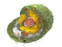 Ejemplo científico correcto de la estructura interna de una célula humana, cortada
