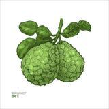 Ejemplo coloreado de la bergamota Ejemplo grabado del estilo Cal del cafre libre illustration