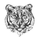 Ejemplo con el tigre Fotografía de archivo