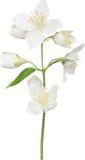 Ejemplo con la rama aislada blanco del jazmín Fotografía de archivo