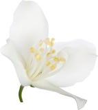 Ejemplo con la sola floración del jazmín blanco Foto de archivo