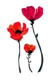Ejemplo con las flores de la amapola aisladas en el fondo blanco Fondo del verano Proyector floreciente de la flor Invitación de  Fotos de archivo libres de regalías