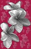 Ejemplo con las flores tropicales del frangipane imagen de archivo libre de regalías