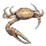 Ejemplo con un cangrejo-fantasma grande del mar dibujado a mano en un fondo ligero Fotos de archivo libres de regalías