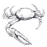 Ejemplo con un cangrejo-fantasma grande del mar dibujado a mano en un fondo ligero Imagen de archivo libre de regalías