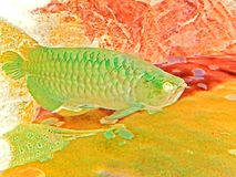 Ejemplo de Arowana adulto en fondo de la naturaleza Foto de archivo