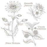 Ejemplo de la árnica médica de las hierbas, potentilla, uncaria Fotografía de archivo libre de regalías