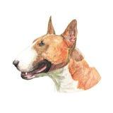 Ejemplo de la acuarela de bull terrier Foto de archivo libre de regalías