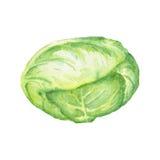 Ejemplo de la acuarela de la col en el fondo blanco Imagen handdrawn cruda de la col verde libre illustration