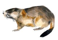 Ejemplo de la acuarela de la marmota Foto de archivo