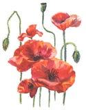 Ejemplo de la acuarela de las flores de la amapola Imágenes de archivo libres de regalías