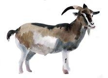 Ejemplo de la acuarela de una cabra Imagen de archivo