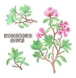 Ejemplo de la acuarela del arbusto del té de Labrador del sagan-dali del adamsii del rododendro stock de ilustración