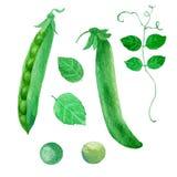 Ejemplo de la acuarela, guisantes verdes Vaina, hojas, guisante Fotografía de archivo