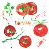 Ejemplo de la acuarela de tomates frescos en el fondo blanco libre illustration