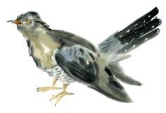 Ejemplo de la acuarela de un pájaro del cuco Imagen de archivo