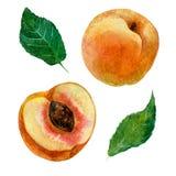 Ejemplo de la acuarela, una imagen de una fruta de un melocotón, un melocotón del corte y hojas Imágenes de archivo libres de regalías