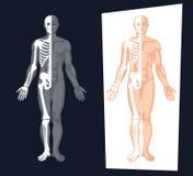 Ejemplo de la anatomía del cuerpo humano stock de ilustración