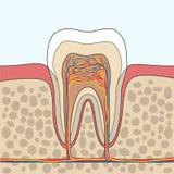 Ejemplo de la anatomía del diente Imagen de archivo