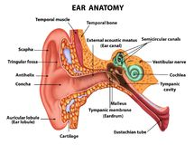 Ejemplo de la anatomía del oído del examen Imagen de archivo libre de regalías