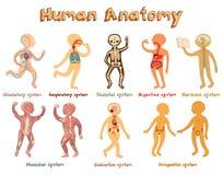 Ejemplo de la anatomía humana, sistemas de órganos para los niños Foto de archivo
