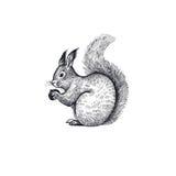 Ejemplo de la ardilla del bosque del animal Fotografía de archivo libre de regalías