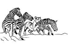 Ejemplo de la cebra de la caza de la leona Imagen de archivo libre de regalías