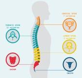 Ejemplo de la espina dorsal humana Foto de archivo