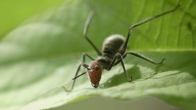 Ejemplo de la mímica - el saltamontes joven le gusta la hormiga Imágenes de archivo libres de regalías