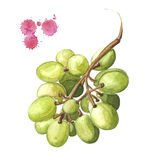 Ejemplo de la uva, manojo de la acuarela de la uva verde Foto de archivo libre de regalías