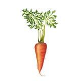 Ejemplo de la zanahoria Imágenes de archivo libres de regalías