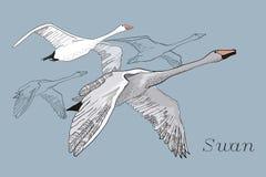 Ejemplo de los cisnes del vuelo del dibujo Dé exhausto, diseño gráfico del garabato con los pájaros Objeto aislado en el contexto fotos de archivo libres de regalías