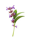 Ejemplo de los officinalis de Salvia Imagen de archivo