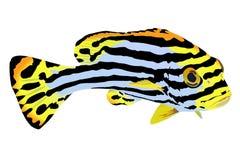 Ejemplo de los pescados rayados del mar tropical stock de ilustración