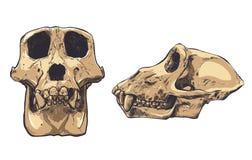 Ejemplo de un cráneo del mono en fondo Vector Imagen de archivo