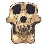 Ejemplo de un cráneo del mono en fondo Vector Imagen de archivo libre de regalías