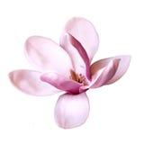 Ejemplo de una flor de la magnolia Imagen de archivo libre de regalías
