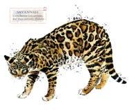 ejemplo del animal doméstico del hogar de la acuarela del gato de la sabana Los gatos crían series Animal doméstico ilustración del vector