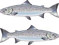 Ejemplo del arte del vector del salmón atlántico ilustración del vector