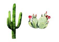 Ejemplo del cactus de la acuarela dos en el fondo blanco