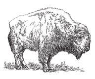Ejemplo del dibujo de la mano del vector del bisonte stock de ilustración