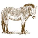Ejemplo del grabado del caballo de Przewalski stock de ilustración