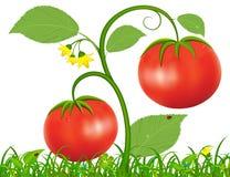 Ejemplo del tomate Imágenes de archivo libres de regalías