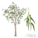 Ejemplo del vector del árbol de goma de eucalipto libre illustration