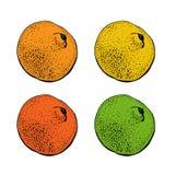 Ejemplo del vector con agrios exhaustos de la mano de la tinta Mandarina, mandarina, cal, pomelo, limón aislado encendido stock de ilustración